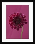 Close Up Of Flower Of Scabiosa Chilli Pepper by Clive Nichols