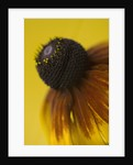 Close Up Of Flower Of Rudbeckia Golden Jubilee by Clive Nichols