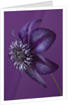 Raymond Evison Clematis: Close Up Of Deep Purple Flower Of Clematis 'cassis' by Clive Nichols