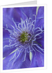 Raymond Evison Clematis: Close Up Of Amazing Double Purple Flower Of Clematis 'crystal Fountain' by Clive Nichols