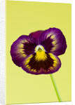 Close Up Of The Flower Of Pansy 'antique Surprise' by Clive Nichols