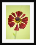 Close Up Image Of The Flower Of Helenium Rubinzwerg by Clive Nichols
