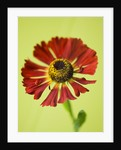 Close Up Image Of The Red Flower Of Helenium Rubinzwerg by Clive Nichols