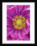 Orchard Dene Nursery: Close Up Of Centre Of Pink Flowered Anemone Margarete by Clive Nichols