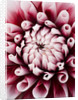 Close Up Of The Centre Of The Pink Flower Of Dahlia Tiptoe (miniature Flowered Decorative) by Clive Nichols