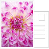 Close Up Of The Pink And White Flower Of Dahlia Audacity (medium Flowered Decorative) by Clive Nichols
