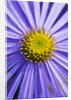 Close Up Of The Blue Flower Of Aster Frikartii Monch Covered With Dewdrops by Clive Nichols