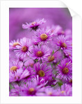 Old Court Nurseries, Worcestrshire: Close Up Of Pink Flowers Of Aster Colwall Galaxy  (michaelmas Daisy) by Clive Nichols