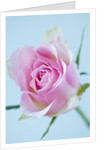 Close Up Of The Centre Of A Pale Pink Rose Against Blue Background by Clive Nichols