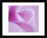 Abstract Close Up Of Pink Arum Lily by Clive Nichols