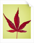 Close Up Of Autumnal Leaf Of Acer Palmatum 'bloodgood' by Clive Nichols