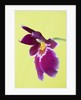 Close Up Of The Flower Of The Pansy Orchid - Miltoniopsis (south America) by Clive Nichols