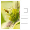 Harvington Hellebores: Close Up Of The Flower Of Helleborus X Hybridus Harvington Yellow Redspot by Clive Nichols