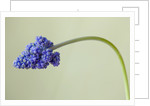 Close Up Of The Blue Flower Of Muscari Armeniacum Blue Spike by Clive Nichols