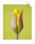Close Up Of The Yellow Flower Of Tulipa Altaica by Clive Nichols