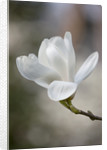 The White Flowers Of Magnolia X Soulangeana 'alba'. Spring, Rhs Garden, Wisley by Clive Nichols