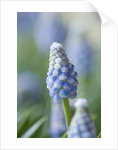 Close Up Of Blue Flower Of Muscari Aucheri 'ocean Magic' - Bulb, Spring, Pale Blue by Clive Nichols