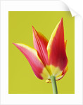 Close Up Of The Red And Yellow Flamed Flower Of Tulip 'synaeda King' by Clive Nichols