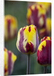 Ulting Wick, Essex :  Close Up Of The Flower Of Tulip 'helmar' by Clive Nichols