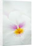 Orchid - Miltonia Grune De Becquet Saint Mary's Village by Clive Nichols