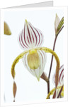 Orchid - Paphiopedilum Mount Toro 'watling Hall' by Clive Nichols
