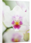 Orchid - Phalaenopsis Brother Pico Sweetheart K & P by Clive Nichols