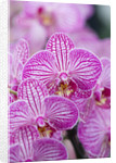 Orchid - Doritaenopsis Taida Sweet Berry by Clive Nichols