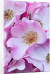 Close Up Of Pink Rose by Clive Nichols