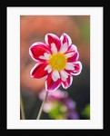 Rhs Garden, Wisley, Surrey - Close Up Of The Flower Of Dahlia Will's Carousel by Clive Nichols