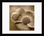 Black And White Sepia Toned Image Of 'eddie's White Wonder' by Clive Nichols