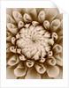 Sepia tone image of dahlia 'Tiptoe' by Clive Nichols
