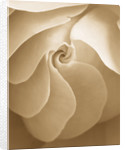 Black And White Sepia Tone Image Of Close Up Of Centre Of Rose (rosa) Flower. Abstract, Pattern, Nature by Clive Nichols
