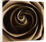 Black And White Sepia Toned Close Up Of Centre Of Rose. Rosa. Abstract.pattern.nature. by Clive Nichols