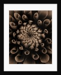 Black And White Sepia Toned Close Up Of Centre Of Dahlia Tiptoe (miniature Flowered Decorative). Abstract.pattern.nature. by Clive Nichols