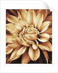 Black And White Sepia Toned Close Up Of Centre Of Dahlia Mabel Ann (giant Flowered Decorative). Abstract, Pattern, Nature by Clive Nichols