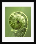 Toned Image Of Unfurling Fronds Of Matteucia Struthiopteris by Clive Nichols