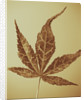 Toned Image Of Acer Leaf by Clive Nichols