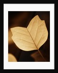 Toned Image Of Yellow Leaf Of Liriodendron Tulipifera 'ardis' In Autumn by Clive Nichols