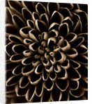 Black And White Sepia Tone Close Up Of Centre Of Dahlia by Clive Nichols