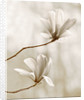 Black And White Sepia Tone Image Of Magnolia Galaxy. Spring, Bloom by Clive Nichols
