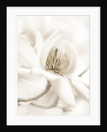 Black And White Sepia Tone Image Of Magnolia Campbelii by Clive Nichols
