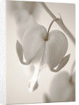Black And White Sepia Tone Image Of Dicentra Spectabilis (bleeding Heart) by Clive Nichols