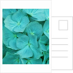 Teal Toned Close Up Of Hydrangea by Clive Nichols