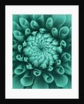Teal Coloured Flower Of Dahlia Dahlia Tiptoe (miniature Flowered Decorative) by Clive Nichols