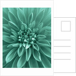 Teal Coloured Flower Of Dahlia 'dazzler'. Flower, Close Up, Pattern, Abstract by Clive Nichols