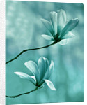 Teal Toned Image Of Magnolia Galaxy by Clive Nichols