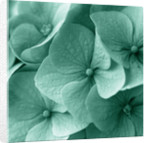 Teal Toned Image Of Hydrangea by Clive Nichols