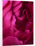 Close Up Of The Crimson Flower Of The David Austin Rose Darcey (auschariot) by Clive Nichols