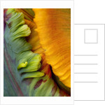 Close Up Abstract Image Of The Flower Of Parrot Tulip 'blumex' by Clive Nichols