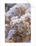 Frosty Flower Head Of Hydrangea Paniculata 'vanille Fraise Renhy' At The Rhs Gardens, Wisley, Surrey. Winter by Clive Nichols